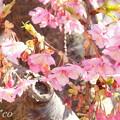 写真: 三浦海岸~河津桜~-164