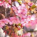 写真: 三浦海岸~河津桜~-177