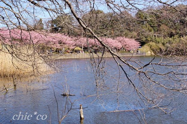 三浦海岸~河津桜~-187