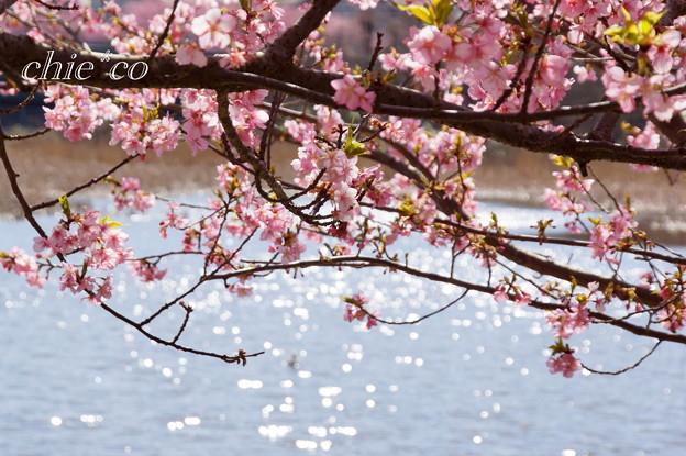 三浦海岸~河津桜~-189