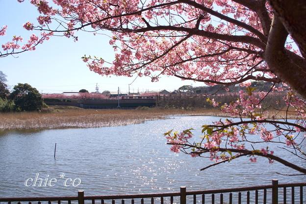 三浦海岸~河津桜~-194