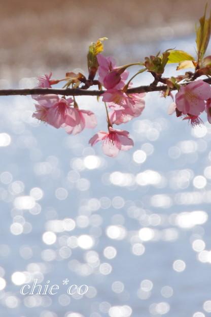 三浦海岸~河津桜~-197