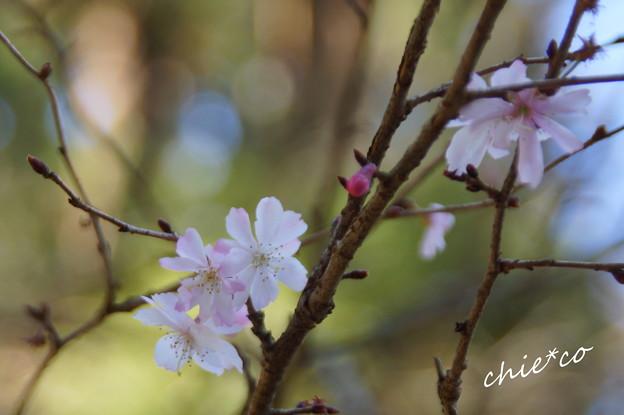 十月桜・・