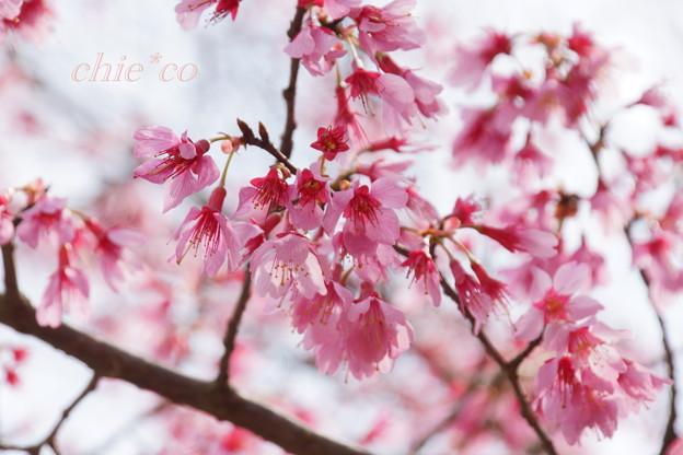 おかめ桜・・
