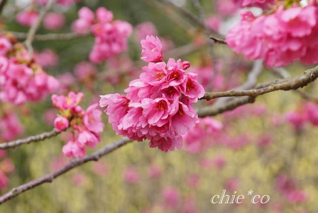 実生の大寒桜・・ 1