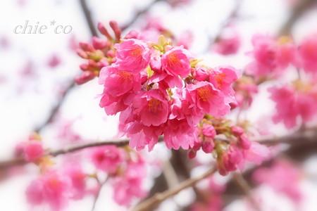 実生の大寒桜・・ 2