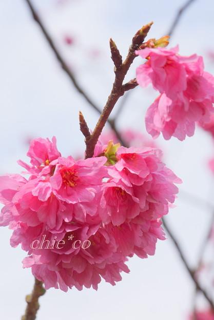 実生の大寒桜・・ 3