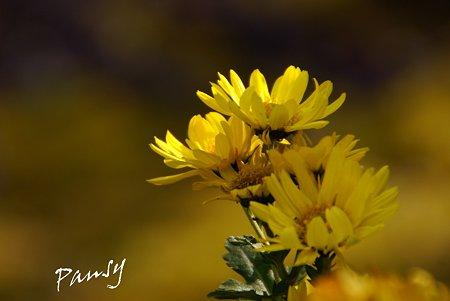 冬の日差しの中で・・菊の花・・