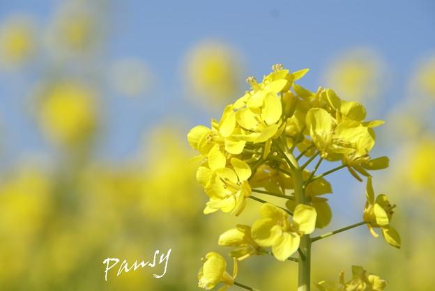 写真: 菜の花。。2010 吾妻山公園 4