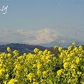 写真: やさしい富士山と・・ 菜の花。。2010 吾妻山公園 5