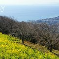 写真: 相模湾と・・菜の花。。2010 吾妻山公園 6