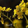写真: 菜の花。。2010 吾妻山公園 11