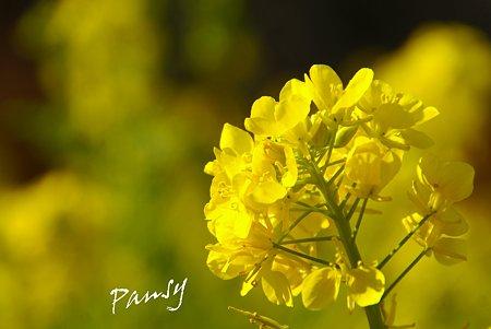 菜の花。。2010 吾妻山公園 12