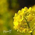 写真: 菜の花。。2010 吾妻山公園 12