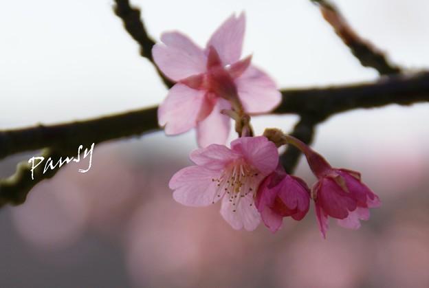 写真: 河津桜咲く・・三浦海岸・・1