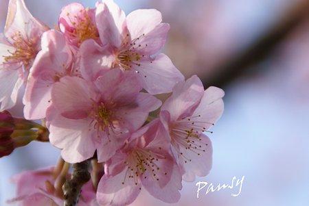 河津桜咲く・・三浦海岸・・2