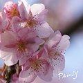 写真: 河津桜咲く・・三浦海岸・・2