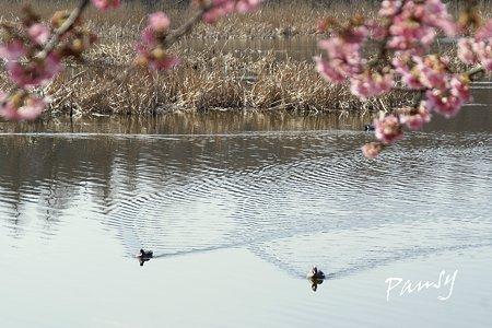 河津桜咲く・・三浦海岸・・3