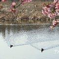 写真: 河津桜咲く・・三浦海岸・・3