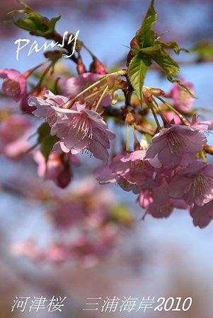 河津桜咲く・・三浦海岸・・10
