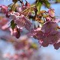 写真: 河津桜咲く・・三浦海岸・・10