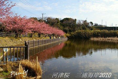 河津桜咲く・・三浦海岸・・11