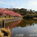写真: 河津桜咲く・・三浦海岸・・11