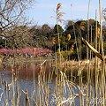 写真: 河津桜咲く・・三浦海岸・・12