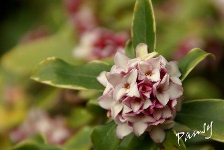沈丁花の香り・・