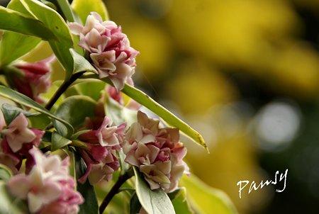 沈丁花の香り・・2