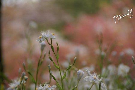 シャガの花・・1