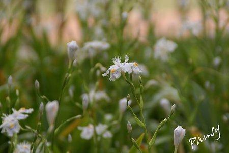 シャガの花・・3