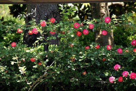 rose garden..15