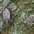 Photos: キマダラカメムシの成虫(左)と終齢幼虫