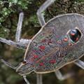 Photos: キマダラカメムシの終齢幼虫 約等倍