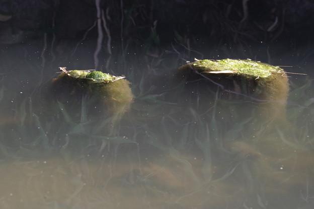 水面スレスレの藻?
