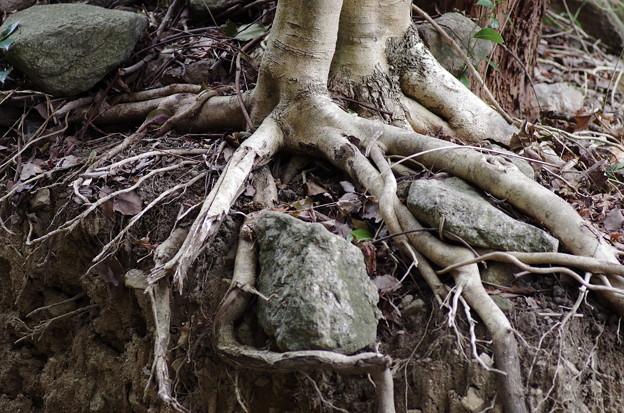 石を持ち上げる木の根っこ
