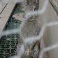 立つウサギ