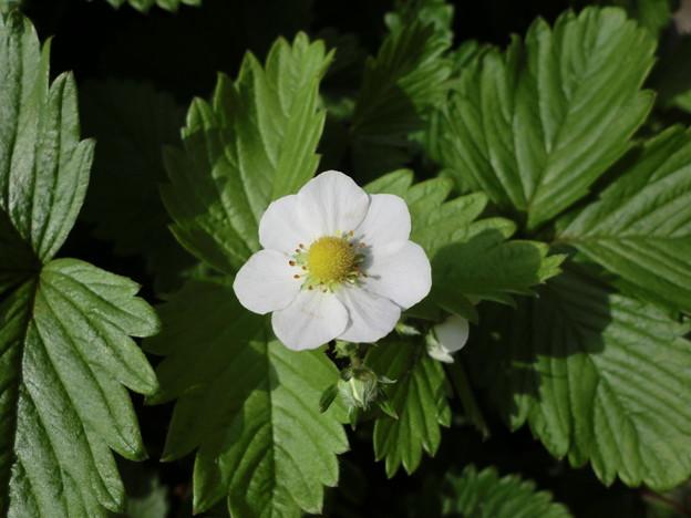 咲き誇る野苺の花