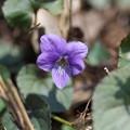 早春の花4(スミレ)
