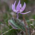 早春の花9(カタクリ)