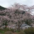 Photos: 竹下桜