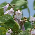 季節の花(桐の花)