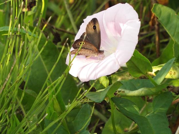 ヒルガオと蝶 ウラナミジャノメ