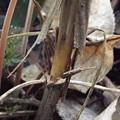 写真: シモバシラの傷跡 j無1602190007