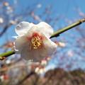 Photos: 雲の曙 神代DSCF1351