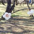 Photos: 八重海棠神代DSCF1354
