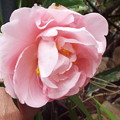 Photos: Camellia Japonica(Easter Morn)