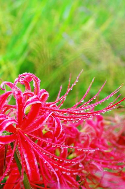 Photos: 田圃の色どり