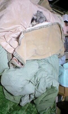 ジョセおが私の掛け布団(足元)でお休みになっていてかわいいお( ^ω^)
